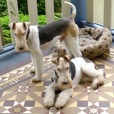 Wire-haired fox terriers